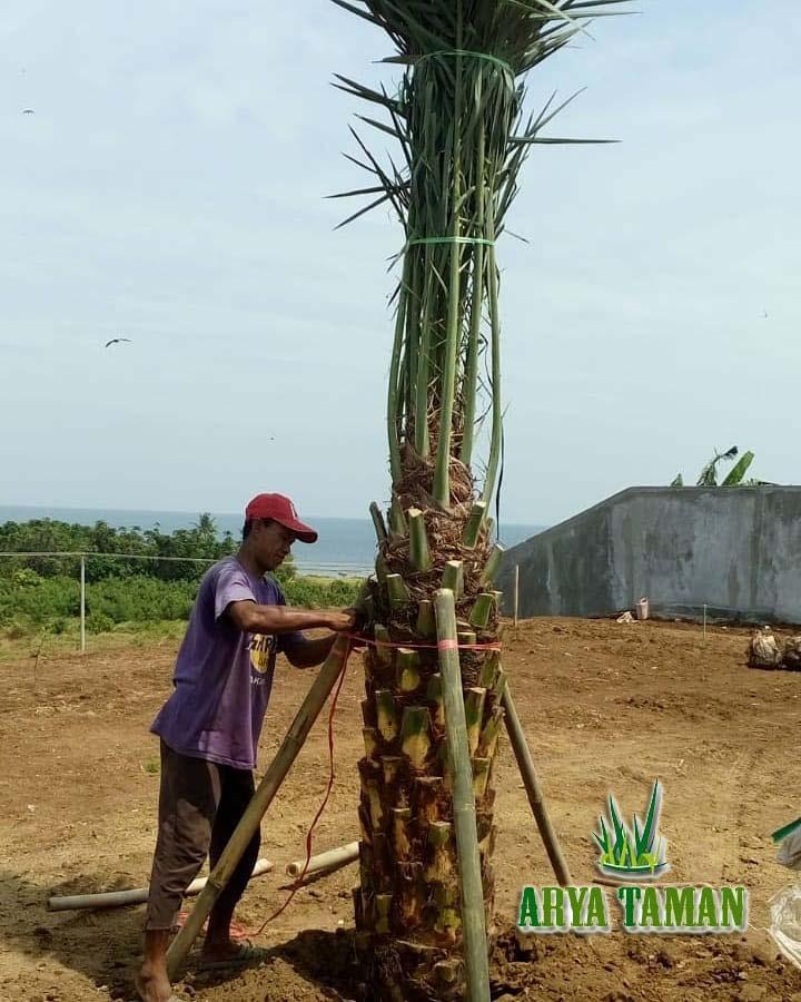 petani pohon kurma